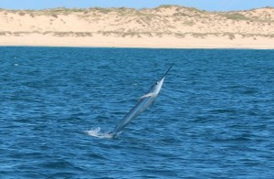 sailfish exmouth boat hire
