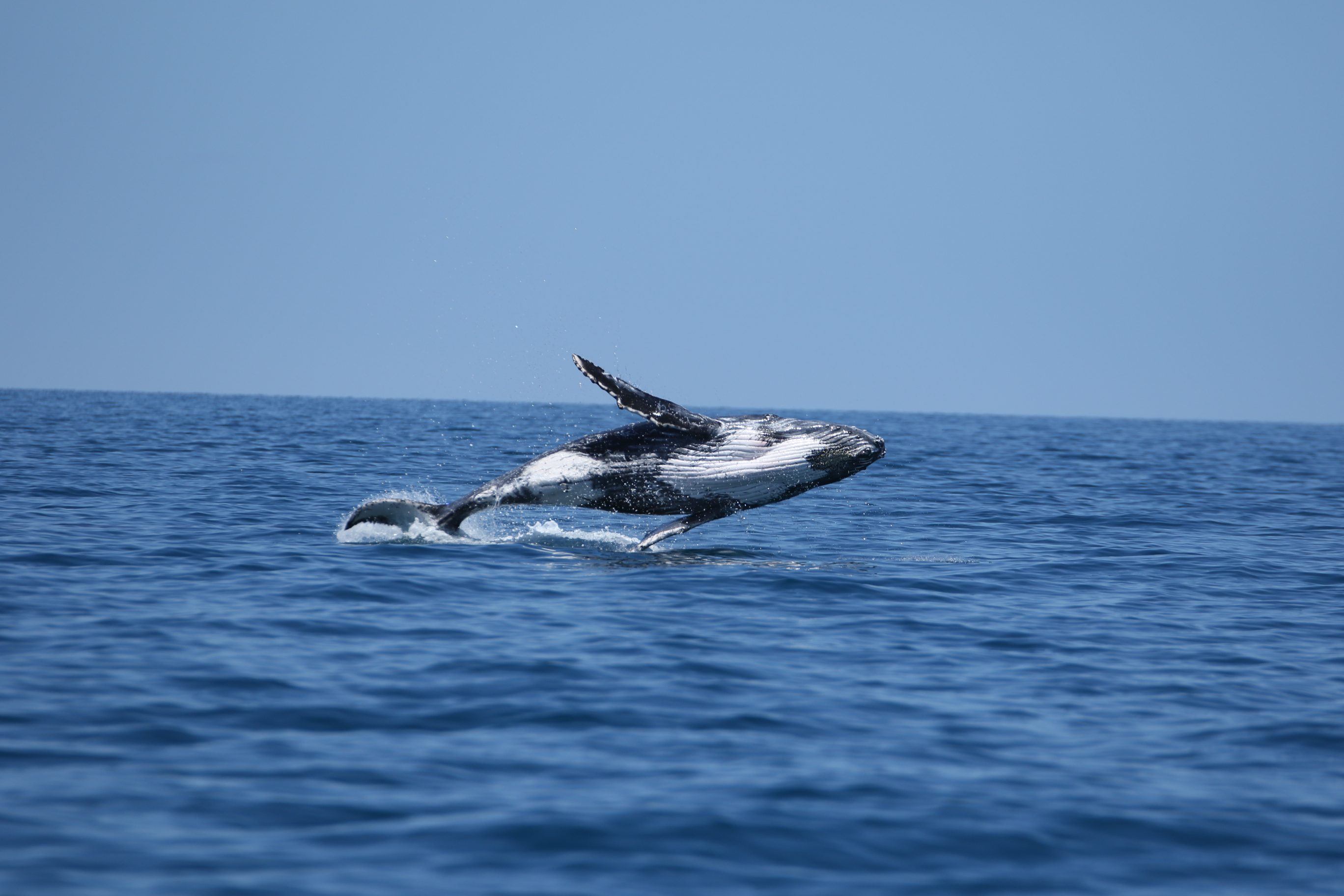 Humpback Whales Exmouth